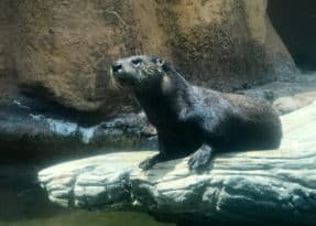 Calvert Marine Museum otter
